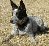 Foto vom Australian Cattle Dog